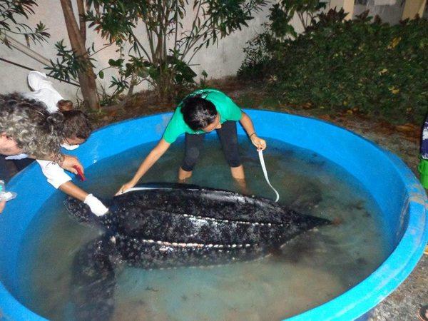 Tartaruga de couro foi resgatada e levada para a sede do Instituto Biota