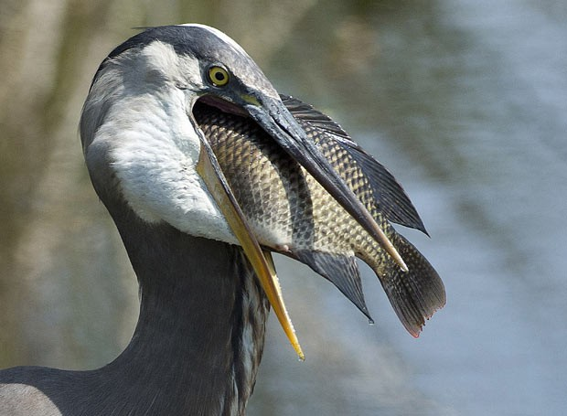 Garça real americana prepara-se para engolir peixe em reserva próximo a Delray Beach (Foto: J Pat Carter/AP)