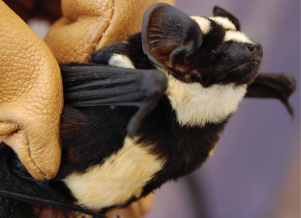 Morcego do recém-criado gênero 'Niumbaha', identificado no Sudão do Sul (Foto: Divulgação/ZooKeys)