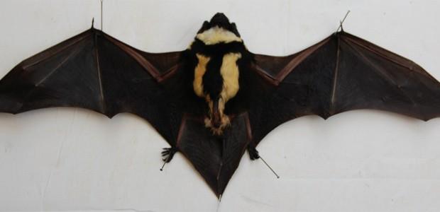 Morcego da espécie 'Niumbaha superba' com as asas abertas (Foto: Divulgação/ZooKeys)