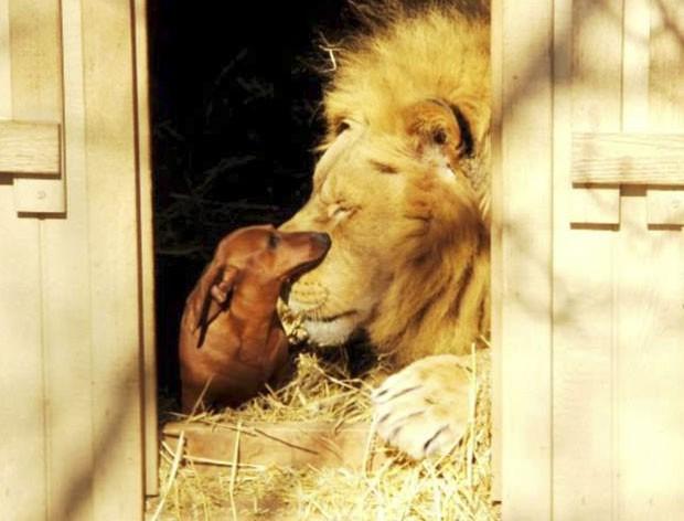 Leão 'Bonedigger' e o cão chamado 'Milo' viraram amigos 'inseparáveis' (Foto: Reprodução/Facebook/The GW Zoo)