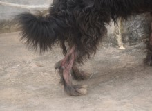 Rabugem é um dos problemas que afeta o animal.
