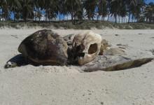 Restos do animal marinho encontrado na orla do Francês. (Foto: arquivo MN)