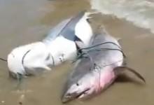 São no mínimo, cinco tubarões, inclusive um filhote